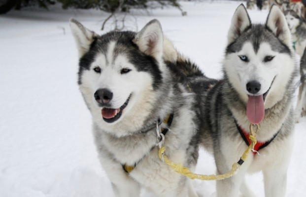 Chamonix ski holiday, chamonix activities, husky dog rides kids winter activities in Chamonix