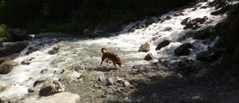 drinking-in-the-waterfalls-854x367 randonner avec son chien à Chamonix