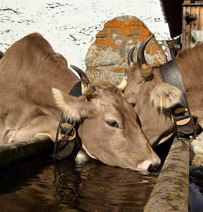 cow-pixabay